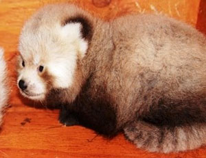 Red panda cub found dead at Atascadero zoo