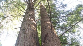 Arbor Day Redwood Trees feat