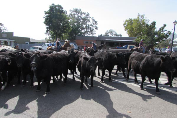 Templeton Founder's Day kicked off with a cattle drive.