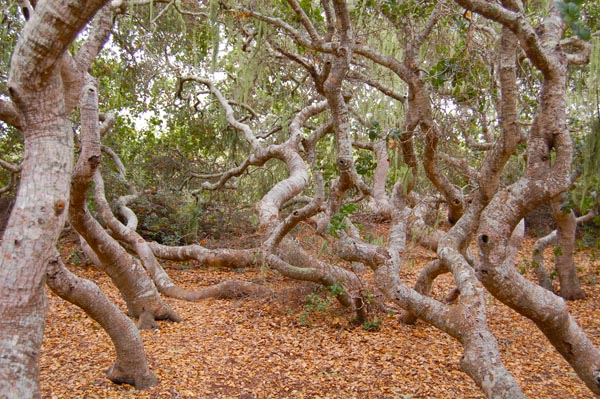 pygmy oak forest on Morro bay estuary
