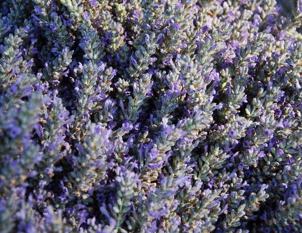 Paso Robles Lavender Festival