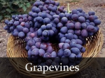 grapevines.png