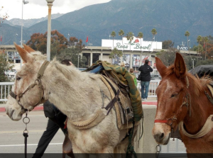 The mules at the Rose Bowl.