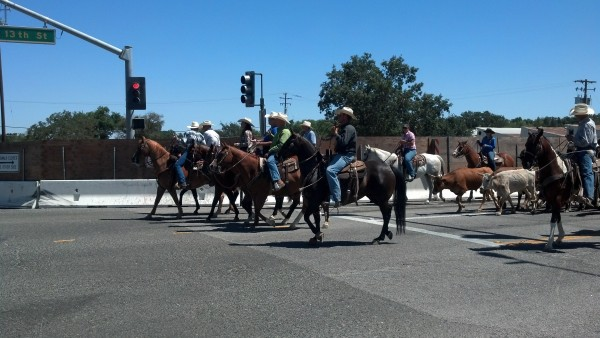 cattle drive paso robles