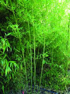 Paso Bamboo