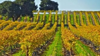 record wine grape harvest