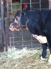 burnt FFA steer