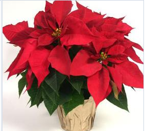 Purchase Poinsettias From Prhs Girls Soccer Players