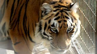 tiger died