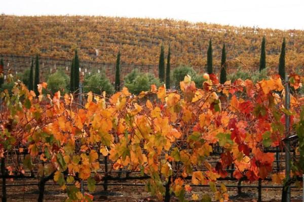 Lone Madrone vineyard.
