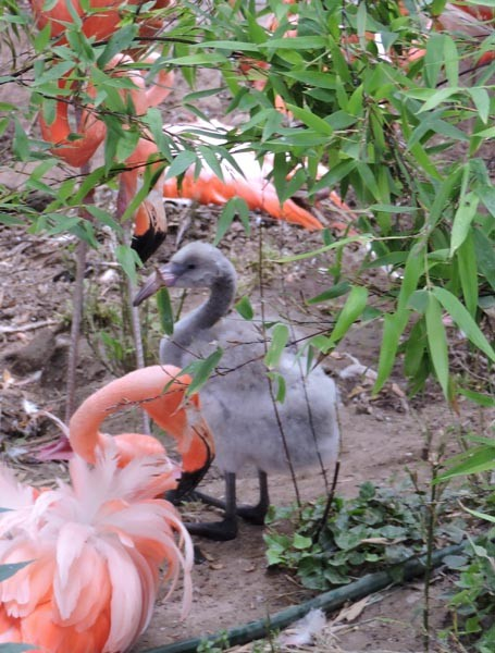 The zoo's new baby flamingo.
