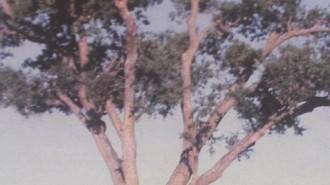 Sudden Oak Death disease