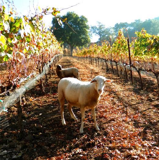 Sheep at adelaida