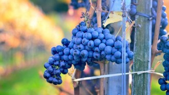 Ripe grapes paso robles harvest weekend