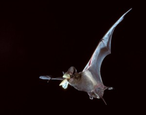 bat_catching_insect_500x394