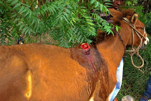 Donkey with injury due to use of bamboo saddle in Haiti.