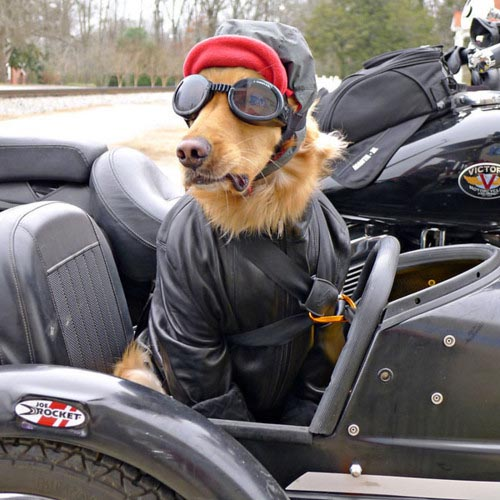 dog in side car