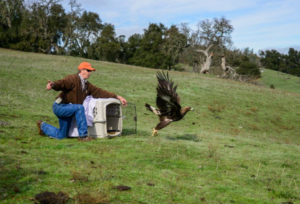 golden eagle release santa margarita