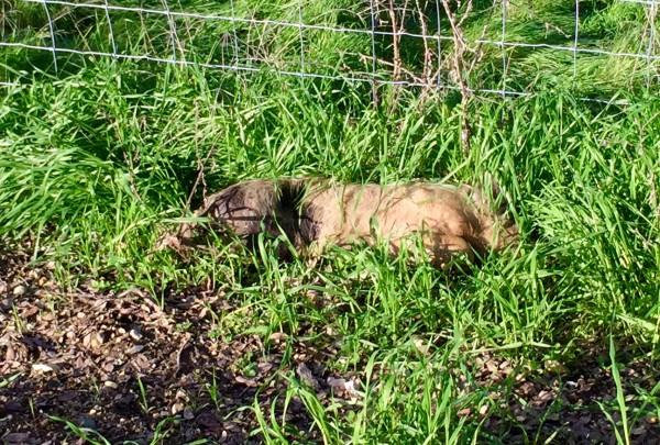 dead pig