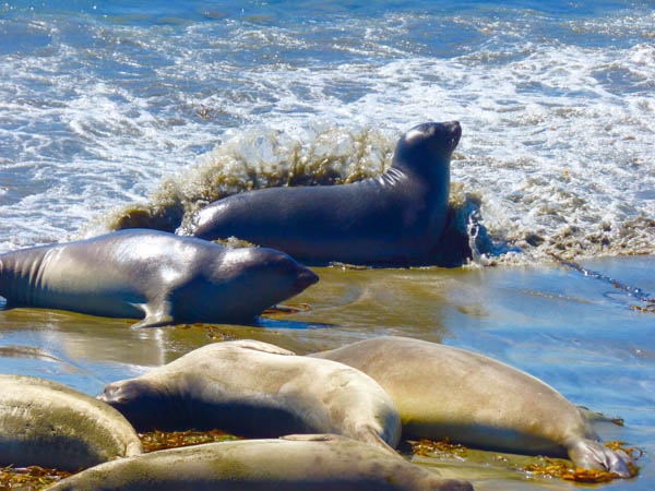 friends of the elephant seals presentation paso robles
