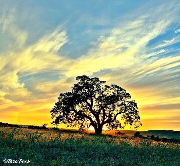 Oak Tree Silhouette by Tara Peck.