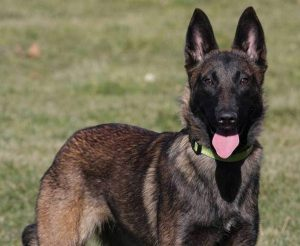 The breed of dog was a Belgian Malinois, pictured here courtesy dogshomeonline.com.