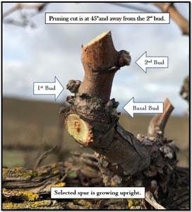 Spur prune example