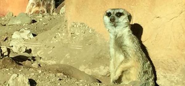 meercats-atascadero-zoo