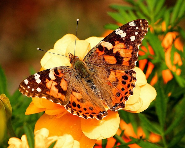 Local congressman supports new law to protect Monarch Butterfly