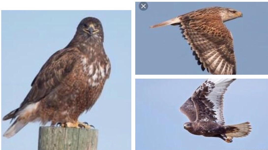 Local falconer's hawk reported missing from Paso Robles