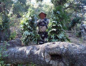 Illegal marijuana grow operation discovered in Lake Lopez area