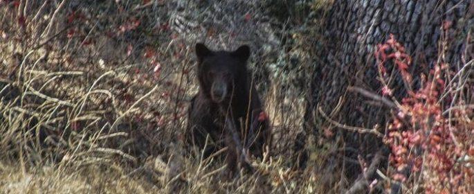 Black bear spotted in Santa Margarita foraging wine grapes