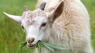 goats eating weeds on highway 1