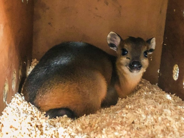 Baby duiker arrives at the Charles Paddock Zoo