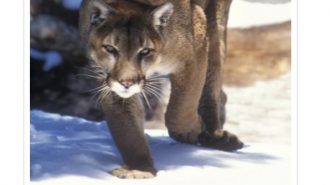State commission grants temporary protections for mountain lions