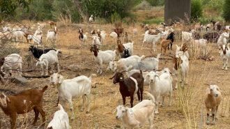 Goats-and-sheep-graze-salinas-riverbed-IMG_1894