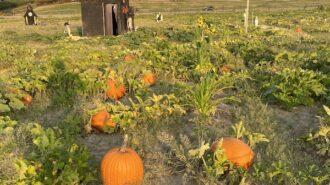 River K pumpkins