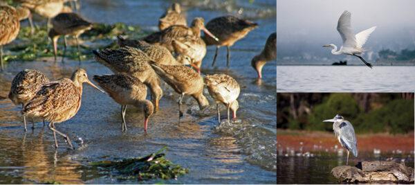 Birdwatching: Thousands of birds winter in Morro Bay