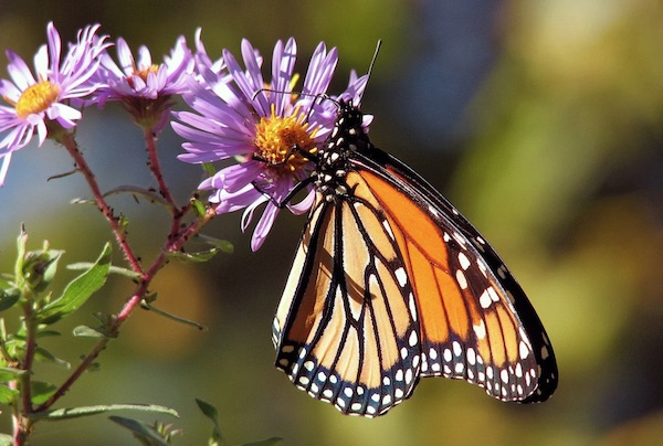 Carbajal urges protection of monarch butterflies
