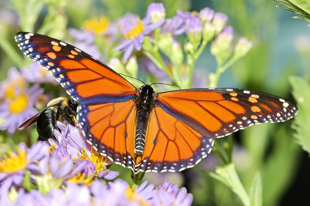 backyard gardens save the monarch butterfly