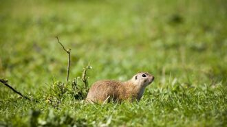 european-ground-squirrel-5581111_640