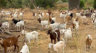 Herd will begin grazing firebreaks in Salinas Riverbed next week