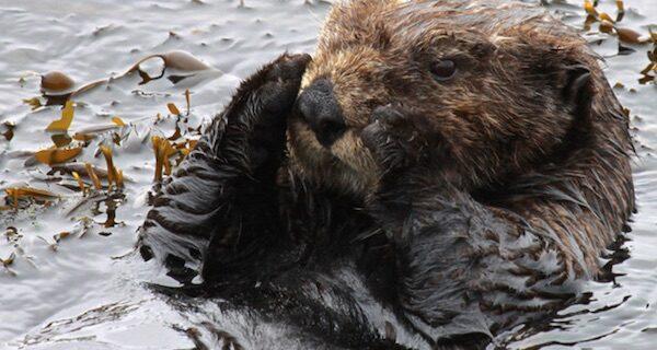 Sea otter found in fishing trap in Moss Landing