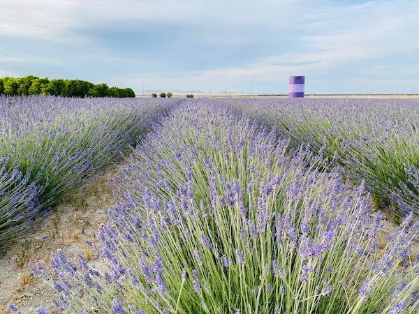 Inaugural Lavender Festival happening at The Lavender Garden