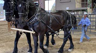 Hilaro Ruiz leading with draft horses[4319] copy