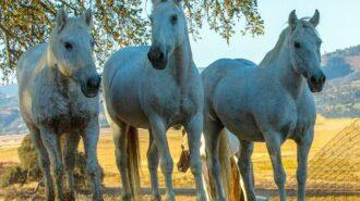 redwings horses